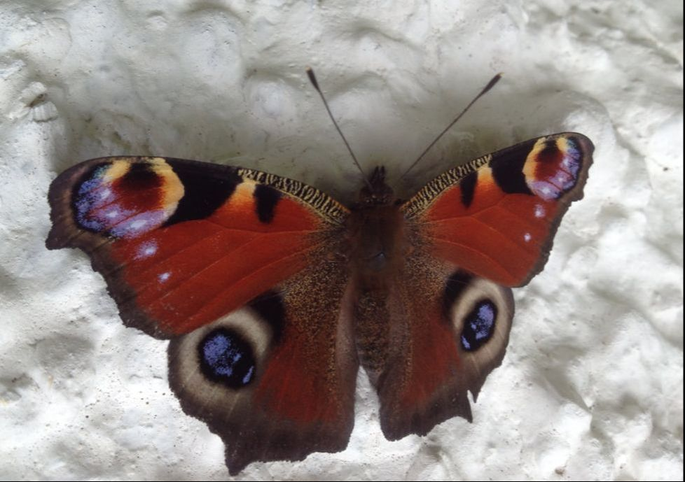 European Peacock Butterfly on the wall of Appletree Cottage